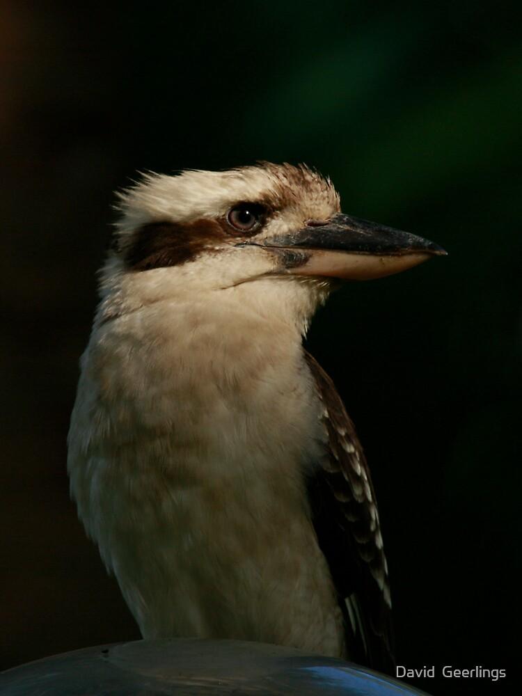 Kookaburra looking left by David  Geerlings