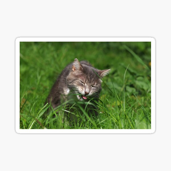 Tabby cat eating grass Sticker