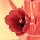 Spring Tulip by Kgphotographics