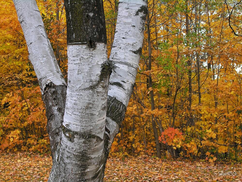 Birch Autumn by Shell59