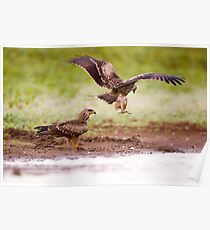 a couple of Black Kite (Milvus migrans) photographed in Israel, in September  Poster