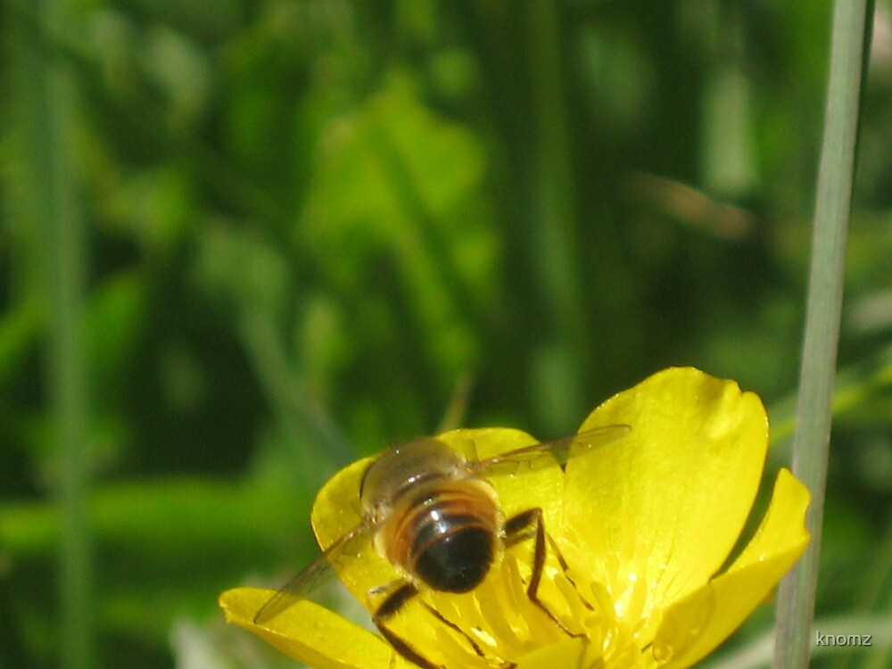 Bee's bum on buttercup by knomz