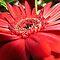 Avatar/Single Gerbera  - Enchanted Flowers*