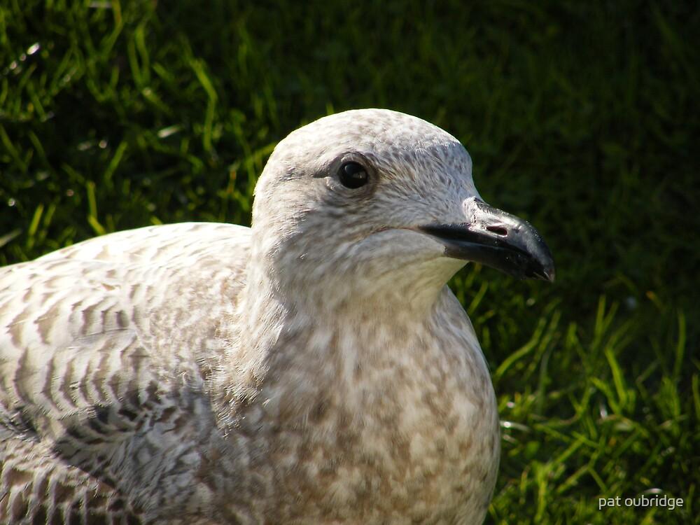 Herring Gull by pat oubridge