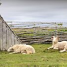 Where Sheep May Safely Graze by Tracy Friesen