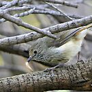 Thornbill & Lunch - Melbourne by AndreaEL