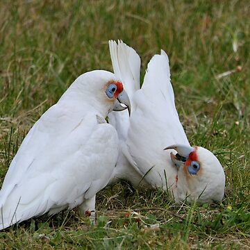 Long Billed Corella Parrots Melbourne by AndreaEL