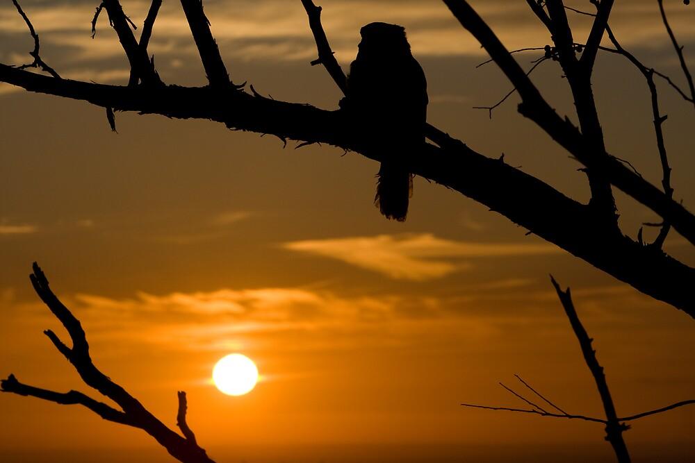 Kookaburra at sunset by aokman