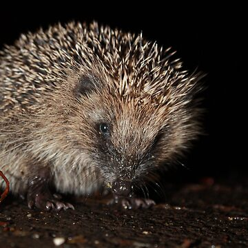Hedgehog by Trevor36
