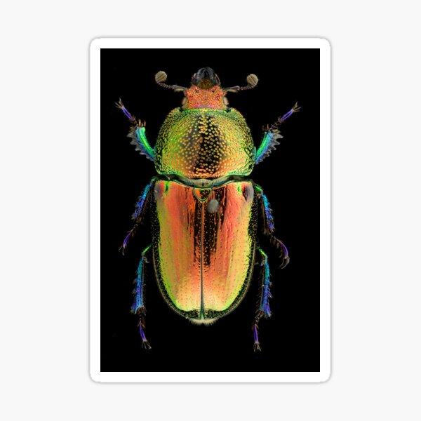 Female Golden Green Stag Beetle (Lamprima latreillii) Sticker