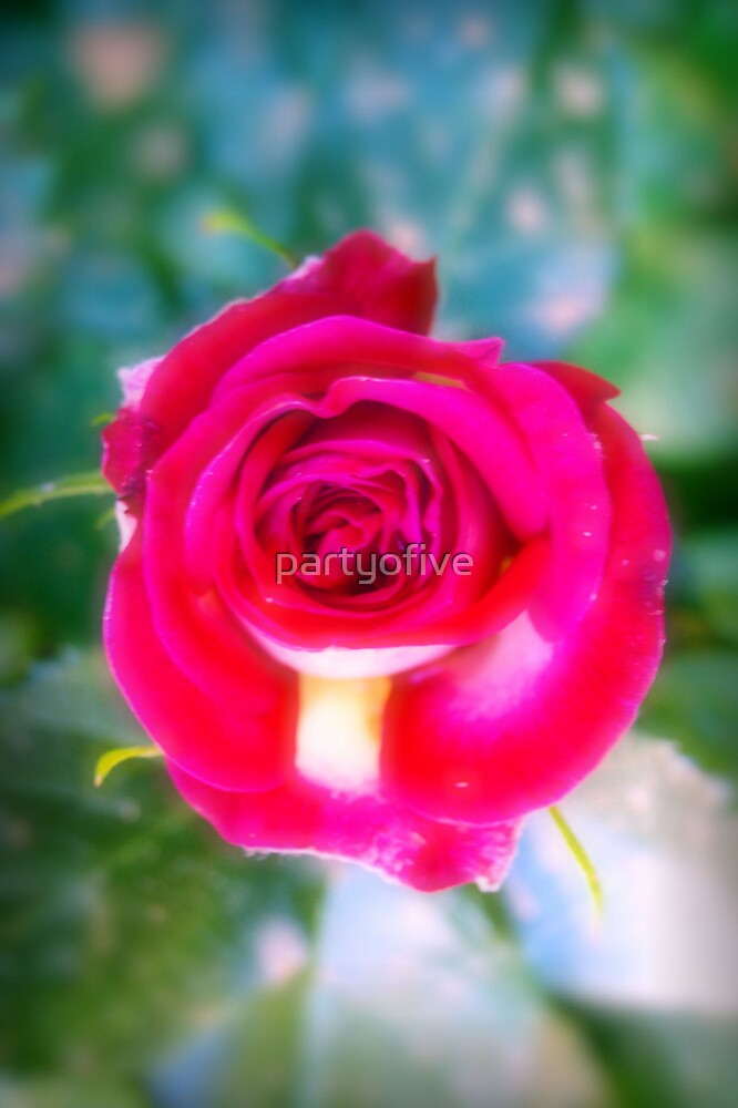 a rose.. by partyofive
