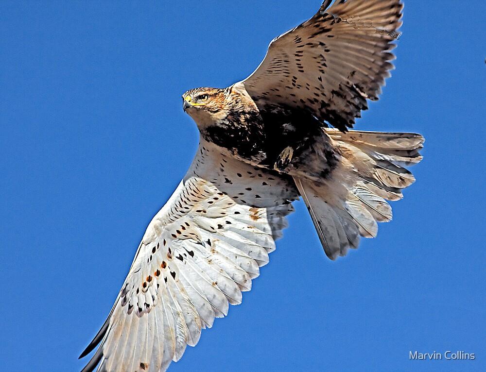 Ferruginous Hawk ll by Marvin Collins