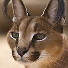 Stylized photo of a  Caracal by NaturaLight