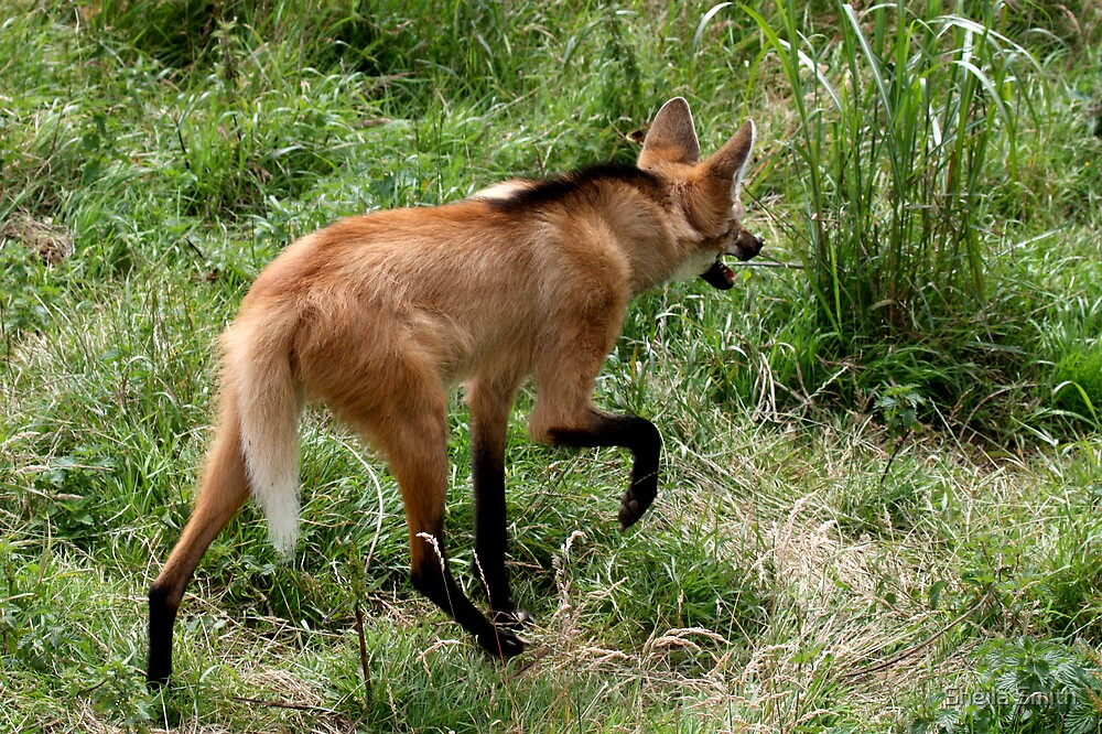 Maned Wolf by Sheila Smith