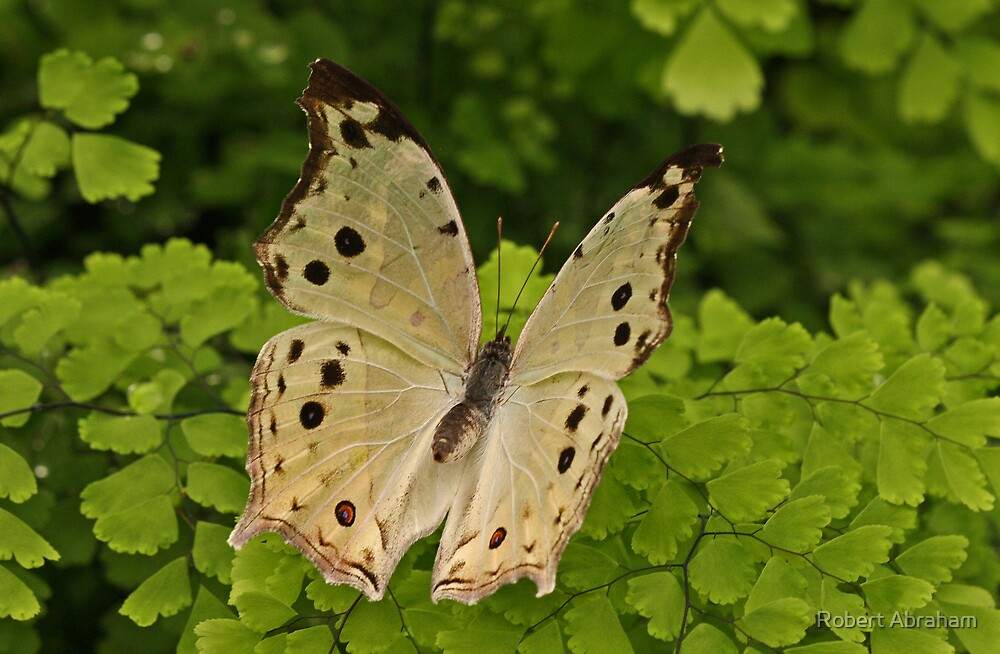 Mother Of Pearl Butterfly by Robert Abraham