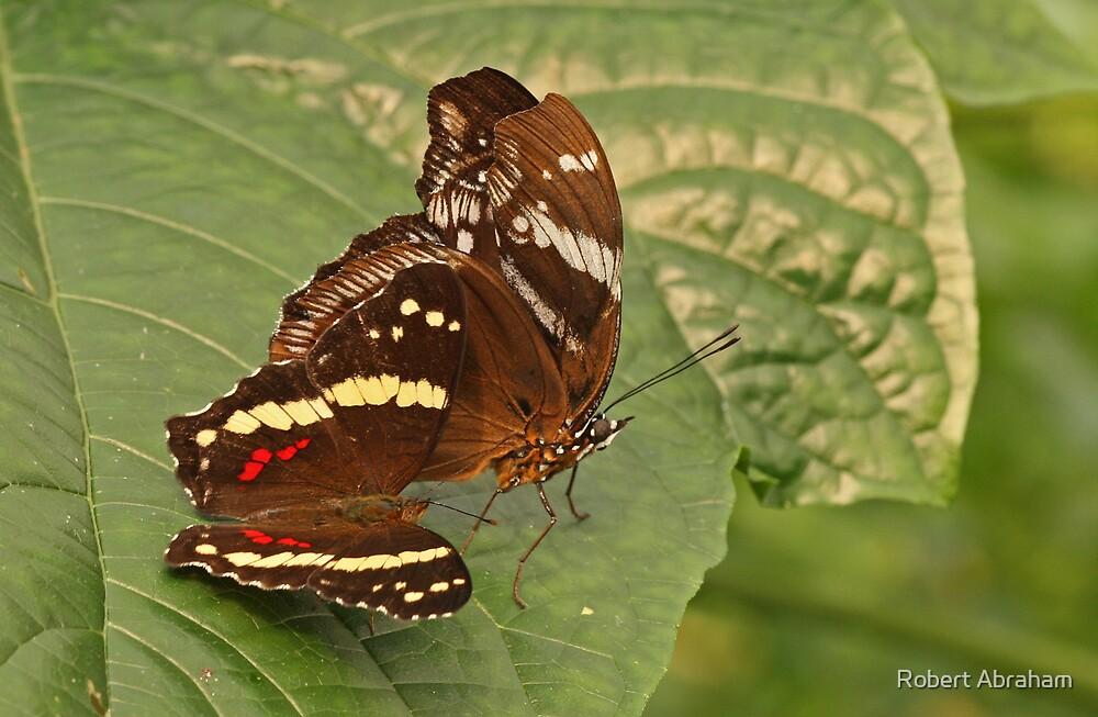 Butterflies by Robert Abraham