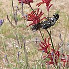 Two New Hollond Honeyeaters jostling for the best. 'Arilka', Mt. Pleasant. by Rita Blom