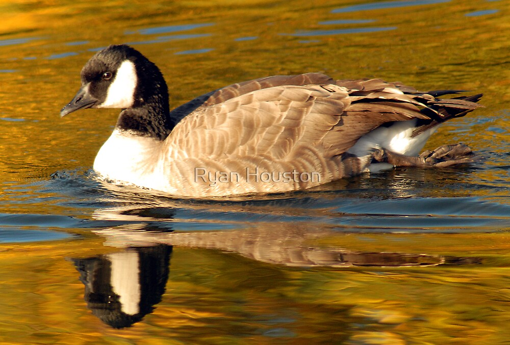 Cackling Goose by Ryan Houston