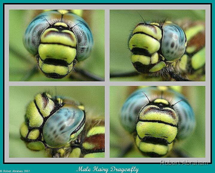 Hairy Dragonfly by Robert Abraham