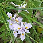 Patches of this pretty Wildflower grow in the paddock in Spring. Rural. by Rita Blom
