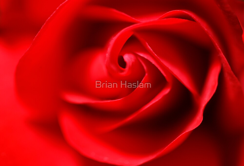 Red Rose by Brian Haslam