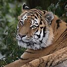 Amur tiger close portrait by alan tunnicliffe
