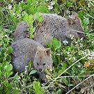 Quokkas (Setonix brachyurus) - Rottnest Island, Western Australia by Dan Monceaux
