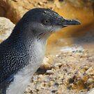 Little penguin (Eudyptula minor) - Penguin Island, Western Australia by Dan Monceaux