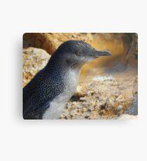 Little penguin (Eudyptula minor) - Penguin Island, Western Australia Metal Print