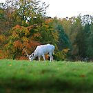 White Fallow Stag by dougie1