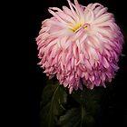 A formal portrait of this Japanese Chrysanthemum by alan shapiro