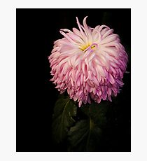A formal portrait of this Japanese Chrysanthemum Photographic Print