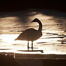 Swans by Marty Samis