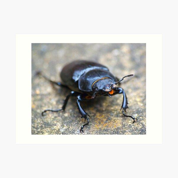 Stag beetle Art Print