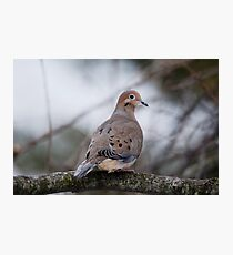 Mourning Dove Sitting Pretty Photographic Print
