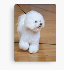 Bichon Frise (curly lap dog) is a small breed of dog of the Bichon type. Metal Print