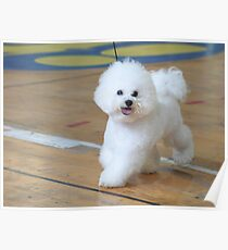 Bichon Frise (curly lap dog) is a small breed of dog of the Bichon type. Poster