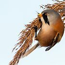 BeardedTit by Alan Forder