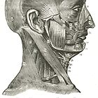 Muscles of the Face and Neck, 19th century illustration by artfromthepast