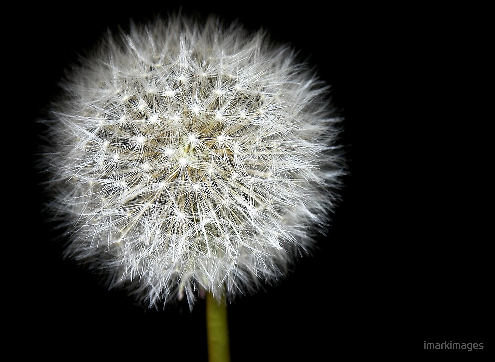 Dandelion by imarkimages