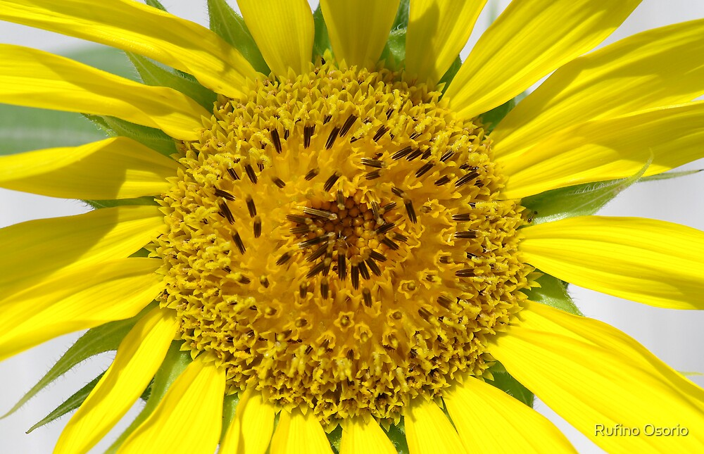 Helianthus annuus - Sunflower by Rufino Osorio