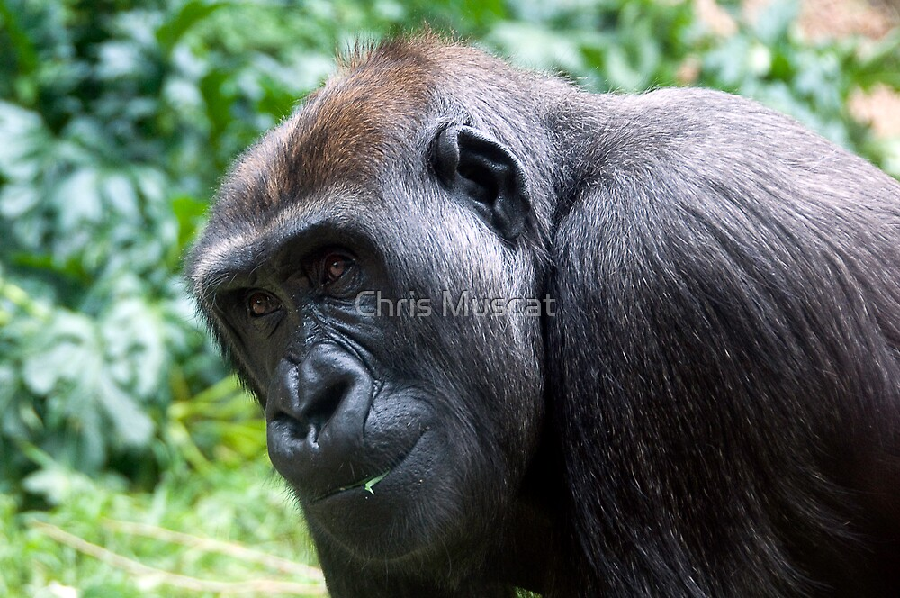 Gorilla #3 by Chris Muscat