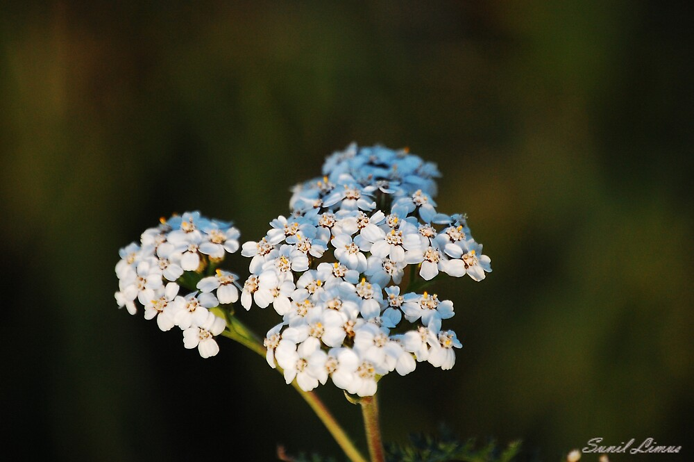 Bunch of white blooms by skr91
