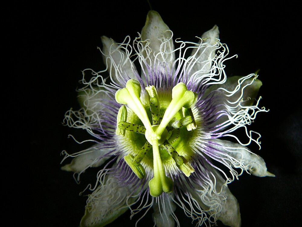 passionfruit flower by normab
