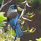 Tui  on Flax bush..........!      by Roy  Massicks