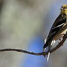 Gold Finch by NatureGreeting Cards ©ccwri