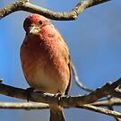 House Finch by NatureGreeting Cards ©ccwri