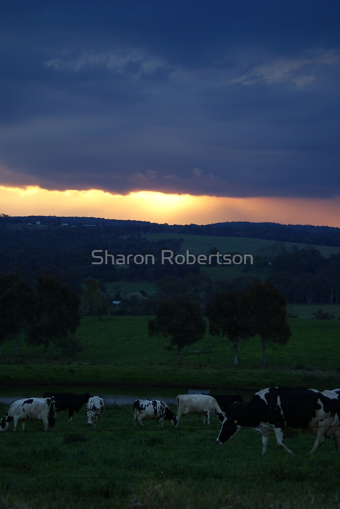 Cow Sunset by Sharon Robertson