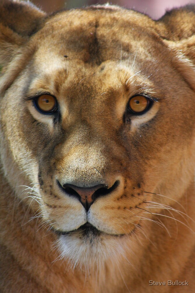 Lioness Pose by Steve Bullock