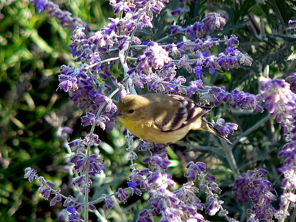 The Lavender Smells Good but I Like the Seeds by Chuck Gardner